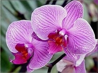 Orchidee p.o.