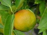 Tangerineolie eth. Brasilië 10 ml