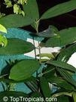Kaneelbladolie eth. Sri Lanka