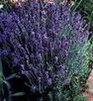 Lavendelolie eth. Barreme extra fijn Frankrijk 10 ml