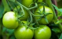 Groene tomaat p.o.
