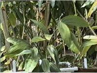 Cassia eth. China 10 ml