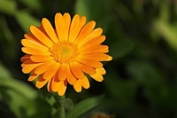 Calendula extract 10 ml