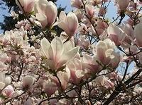 Magnolia p.o.