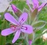 Geraniumolie eth. Egypte 10 ml