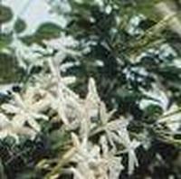 Kamfer kristallen eth. China 10 g