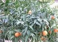 Mandarijnolie, rood eth. Italië