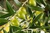 Olijfbladeren extract 50 ml